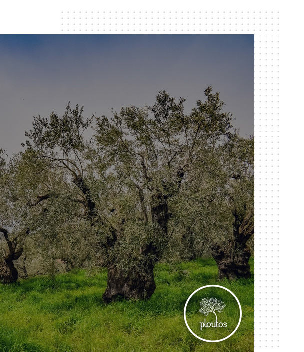 Ploutos-olive1 (2)
