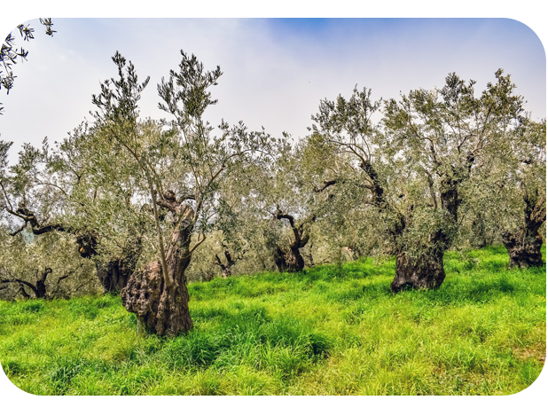 about-us-olive-tree-ploutos-πλούτος